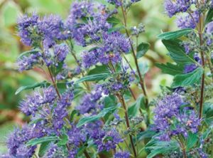Caryopteris Grand Bleu'-starrosesandplants.com