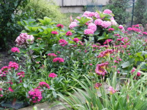 Dianthus 'Jolt' with hydrangeas and purple Hemerocallis