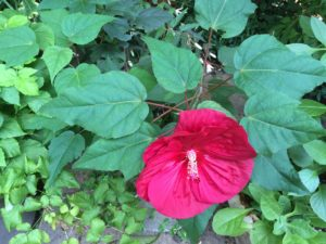 Hibiscus 'Heartthrob' in back driveway container last summer