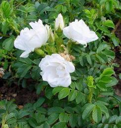 Rosa 'Blanc Double de Coubert-buyarose.eu