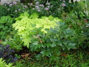 Layered garden; Aralia 'Sun King', peony, Phlox; Jacquot-PPA-Balltimore; 7/27/15