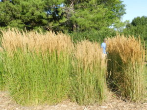 Three Calamagrostis cultivars side by side: 'Avalanche', 'Overdam', 'Karl Foerster'