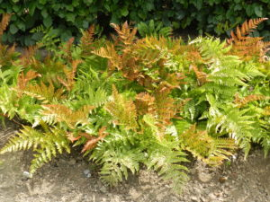 Dryopteris erythrosora in a Dutch garden in mid-August