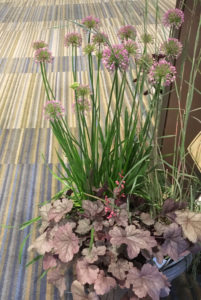 Allium 'Millenium', Heuchera 'Silver Gumdrop', Schizachyrium 'Blue Heaven' in container outside PPA lecture hall