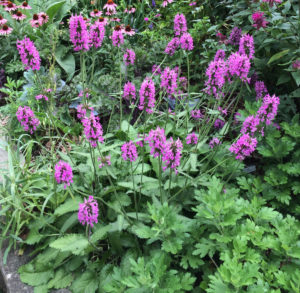 Stachys monieri 'Hummelo' in my garden