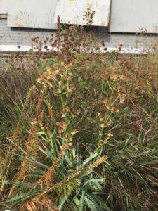 Eryngium yuccifolium deadheads