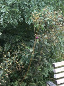 Vernonia noveboracensis deadheads;