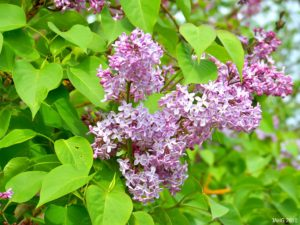 Syringa vulgaris-namethatplant-wordpress-com - The common lilac is extremely fragrant but needs to be pruned each year once as it approaches maturity.
