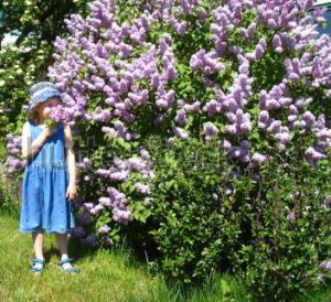 Child smelling lilacs-shutterstock-com