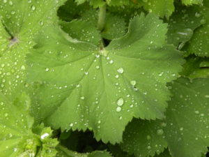 Raindrops on Alchemilla mollis foliage