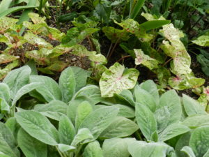 Stachys byzantina with Caladium bicolor 'Miss Muffet'