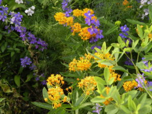 Asclepias tuberosa 'Hello Yellow' with  Larkspur in my garden
