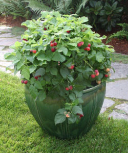 Brazelberries-'Raspberry Shortcake' -willowoaynurseries-com