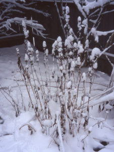 The deadheads of Chelone 'Hot Lips' become sculptural when covered with snow.