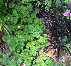 Contrast of color and texture  curly parsley next to Ophiopogon