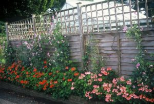 The lattice topper provides something onto which the Sweet Pea tendrils can cling.