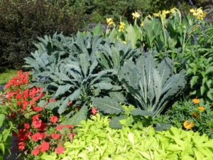 Kale 'Lacinato' with Petunia 'Tidal Wave Velour Red',  Canna yellow, Ipomoea 'Margarita'