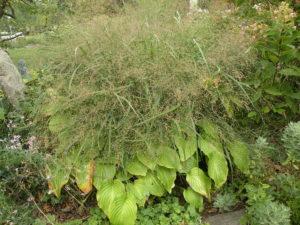 Panicum 'Rotstralhbusch' in bloom