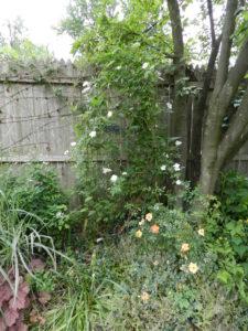 Rosa x 'Nastarana' and Oso Easy 'Paprika' with Heuchera 'Georgia Peach', Miscanthus sinensis 'Variegatus'
